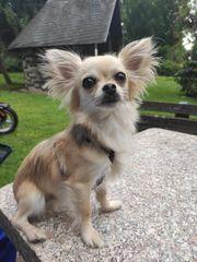 Chihuahua 2 Jahre