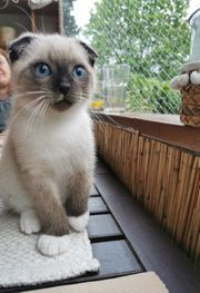 Blue Tabby Point Kater
