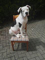 Deckrüde Amerikanische Bulldogge Prinz Leopold