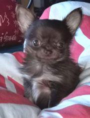 chihuahua Welpe klein bleibend mit