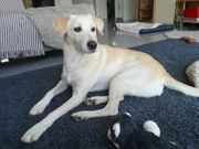 Isabel - Labrador-Mischlingshündin aus dem Tierschutz