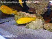 Labidochromis caeruleus yellow Aulonocara maylandi