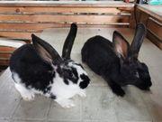 Rex Hasen Babys Kaninchen sehr