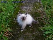 Kitten Birma - Neva Masquarade ähnl
