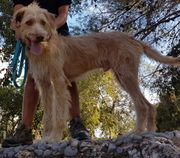 Großer Rüde sucht hundeerfahrenes Zuhause