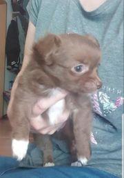 Schoko Chihuahua Welpe Hündin