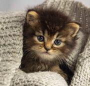 Maine Coon - Sibirische Kitten Katzenbabys