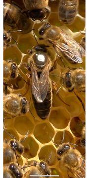 Carnica Bienenköniginnen F1 Königin Weisel