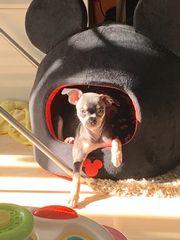 Chihuahua welpe Blue tan Mädchen