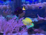 Litophyton Meerwasser Koralle