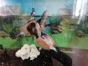 2 Rotbauchspitzkopfschildkröten inkl großem Aquarium