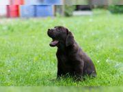 Wunderschöne Reinrassige Labrador Welpen