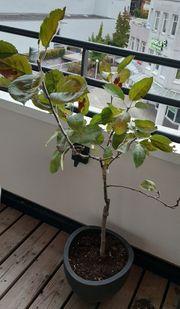 Apfelbaum - 3 Sorten auf einem