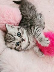 BKH Kitten Katzenbabys whiskas Britisch