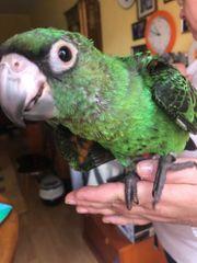 Papagei Grüner Kongopapagei