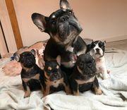 Französische Bulldoggen Welpen Black Tan