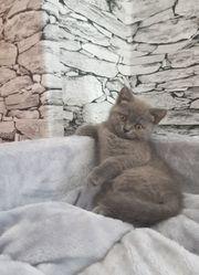 Britisch Kurzhaar Blue Kittens