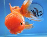 KOI 13 Anz 85 2020 Goldfisch -