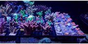 Korallen SPS Acropora Montipora