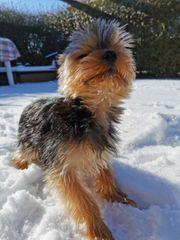 Mini Yorkshire Terrier Deckrüde