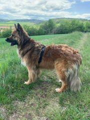 Harzer Fuchs-Altdeutscher Schäferhund Mix