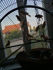Kanaren vögel 26 Stück