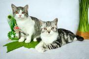 Süße BKH-Kätzchen mit Stammbaum Abgabebereit