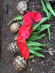 Maurische Landschildkröten Europäische Schildkröten Testudo