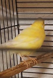 kanarien kanarienvögel
