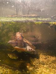 Rotbauchspitzkopfschildkröten