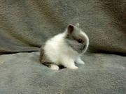 Original Löwenkopf Kaninchen Babys mit