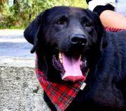 DYX Labrador Mischling - sportlich intelligent
