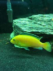 Labidochromis caeruleus Yellow Malawi Pärchen