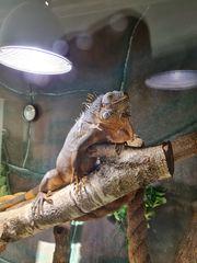 Roter Iguana Leguan ca 60cm