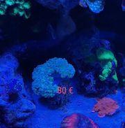 Meerwasser Korallenableger Zoas Euphyllia Trachyphyllia