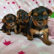 Reinrassige Yorkshire Terrier Mini Welpen