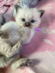 3 süße Birmchen - Birma Kitten