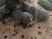 Bildhübsche Französische Bulldoggen Welpen mit