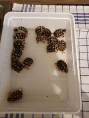 Breitrandschildkröten Nachzucht 2020