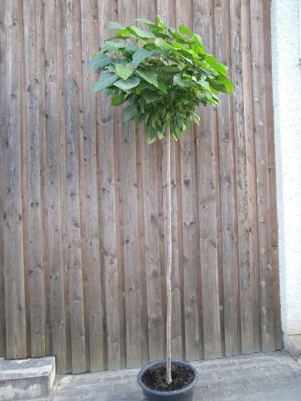 Catalpa bignoioides nana Kugelbaum Beamtenbaum