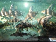 Wimpelkarpfen - Mycocyprinus asiaticus 5 - 7