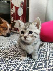 Britisch Kurzhaar Mix Kitten