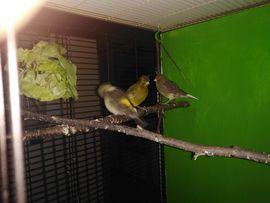 Vögel - Fife Kanarien 2 Paare