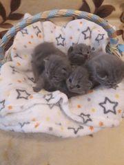 BKH Kätzchen zum reservieren