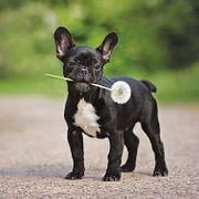 Wir suchen eine französische Bulldogge