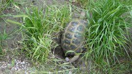 Bild 4 - Vierzehen Landschildkröten Russische Landschildkröten von - Röderau-Bobersen