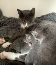 Ragdollmix Kitten Katzenbabys