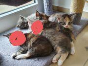 Sibirische Katzen MIX