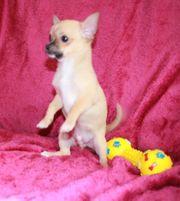 Extra Mini Chihuahua Welpen TeacupRüde