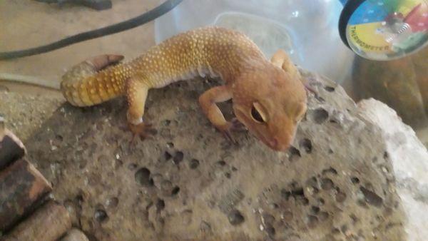 Gebe zwei männliche Leopardgeckos ab